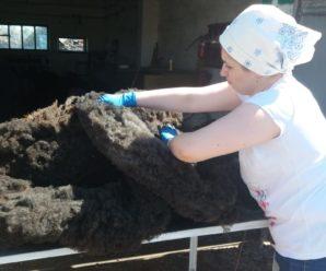 Сезонная стрижка овец в клинике